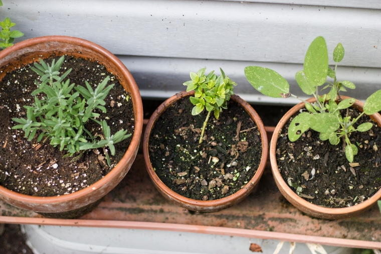 potted herbs, basil, sage and lavender