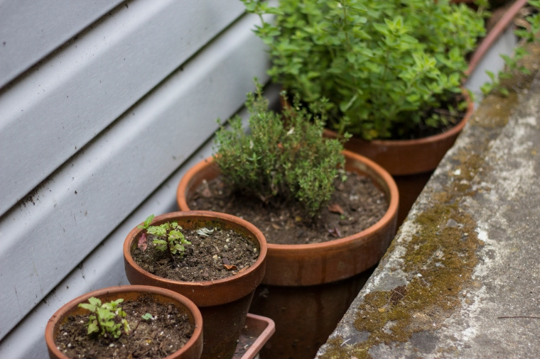 potted herbs, peppermint, chocolate mint, thyme and oregano